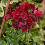 Pelargonium peltatum 'Royal Night' - Geranium