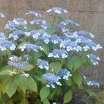 Hydrangea serrata 'Bluebird' - Berghortensia - Hydrangea serrata 'Bluebird'