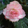 Begonia grandiflorum 'Picotee White Red'