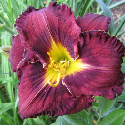 Hemerocallis 'Purplelicious' -
