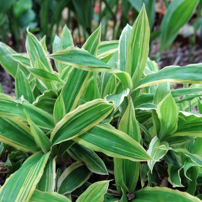 Carex siderosticha 'Island Brocade' -