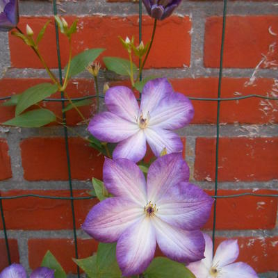 Clematis 'Pernille' - Bosrank