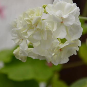 Pelargonium 'Ivory Snow'