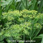 Anethum graveolens - Dille