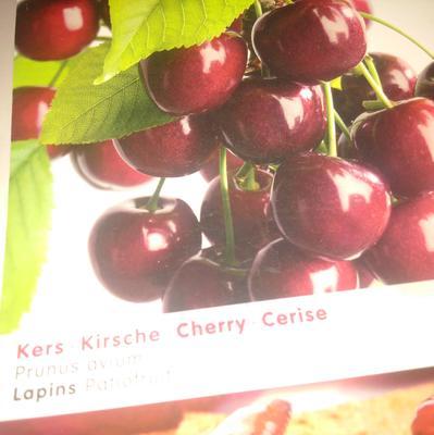 Prunus avium 'Lapins' -