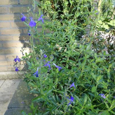 Salvia greggii 'Blue Note' -