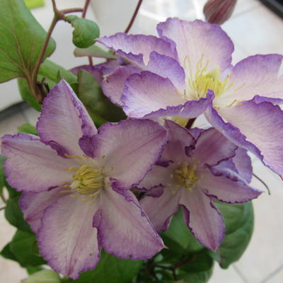 Clematis 'Lucky Charm' - Bosrank