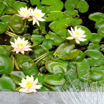 Nymphaea 'Colorado'