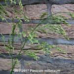 Panicum miliaceum  - Panicum miliaceum  - Gierst, Pluimgierst