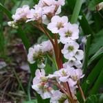 Bergenia 'Nebellicht' - Bergenia 'Nebellicht' - Schoenlappersplant