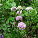 Allium senescens subsp. montanum 'Summer Beauty' - Sierui, Berglook - Allium senescens subsp. montanum 'Summer Beauty'