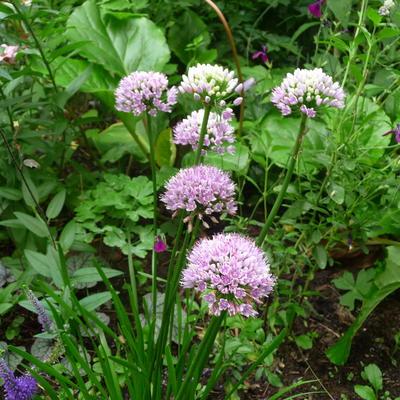 Allium senescens subsp. montanum 'Summer Beauty' -