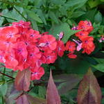 Phlox paniculata 'Orange Perfection'  - Vlambloem, floks
