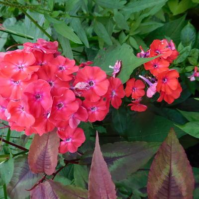 Phlox paniculata 'Orange Perfection' -