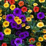 Calibrachoa Million Bells Series - Mini petunia