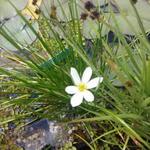 Zephyranthes candida - Witte westenwindbloem - Zephyranthes candida