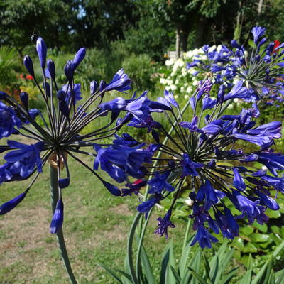 Agapanthus 'Back in Black' - Afrikaanse lelie