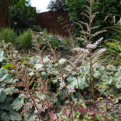 Astilbe x arendsii 'Beauty of Ernst' - Pluimspirea