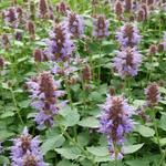 Agastache 'KUDOS Silver Blue' - Dropplant