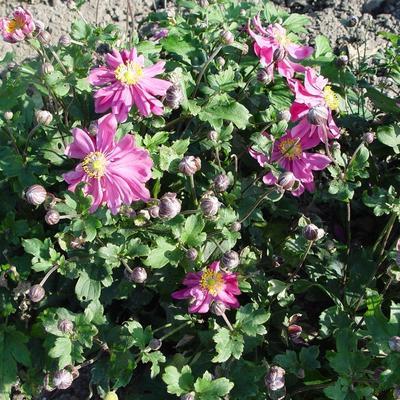 Anemone x hupehensis 'Bressingham Glow' -