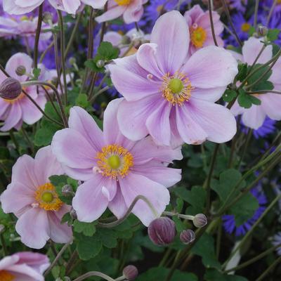Anemone hybrida  'Märchenfee' -