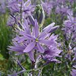 Camassia leichtlinii 'Caerulea' - Prairielelie - Camassia leichtlinii 'Caerulea'