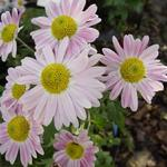 Chrysanthemum koreanum  'Hebe' - Chrysanthemum koreanum  'Hebe' - Chrysant