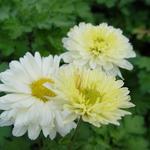 Chrysanthemum indicum 'Poesie' - Chrysant - Chrysanthemum indicum 'Poesie'