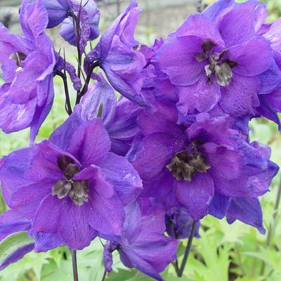 Delphinium 'Delphi's Secret'  -