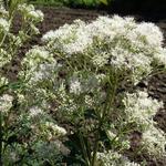 Eupatorium fistulosum f. albidum 'Bartered Bride' - Eupatorium fistulosum f. albidum 'Bartered Bride' - Leverkruid/Koninginnekruid