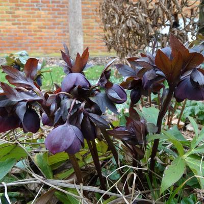 Helleborus orientalis 'Black' - Nieskruid - Helleborus orientalis 'Black'
