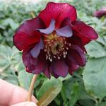 Helleborus orientalis 'DOUBLE ELLEN Red' - Nieskruid - Helleborus orientalis 'DOUBLE ELLEN Red'