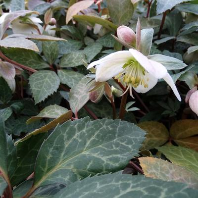 Kerstroos, nieskruid - Helleborus nigercors (x) 'Magic Leaves'