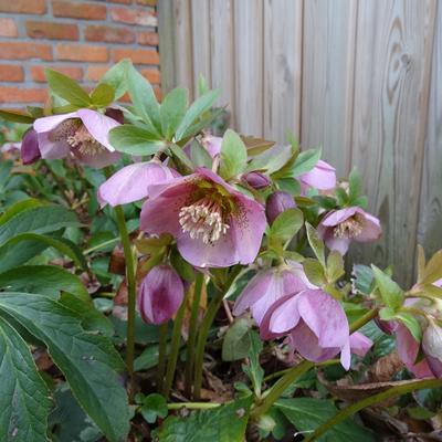 Helleborus orientalis 'Pink' -