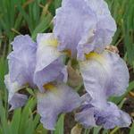 Iris germanica 'Galilee' - Baardiris, zwaardiris