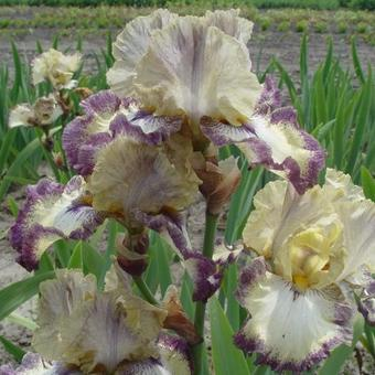 Iris germanica 'Ominous Stranger'