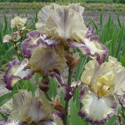 Iris germanica 'Ominous Stranger' -