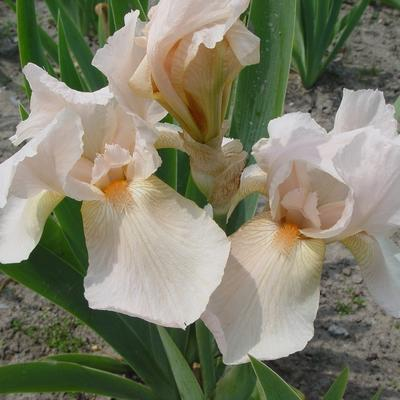 Iris germanica 'Pink Cameo' -