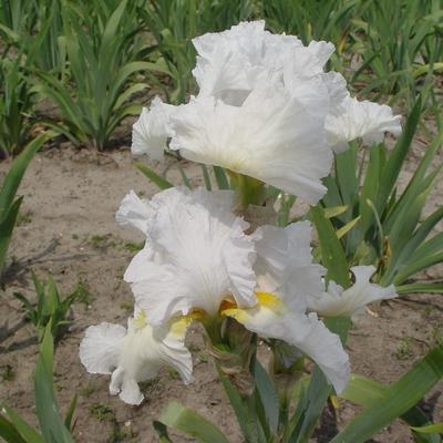Iris germanica 'St Helen's Wake' -