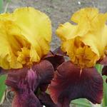 Iris germanica 'Supreme Sultan' - Baardiris, zwaardiris