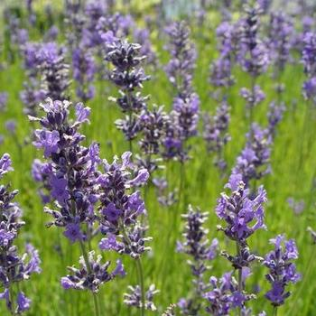 lavendel lavandula angustifolia 39 dwarf blue 39 planten online kopen tuinadvies. Black Bedroom Furniture Sets. Home Design Ideas