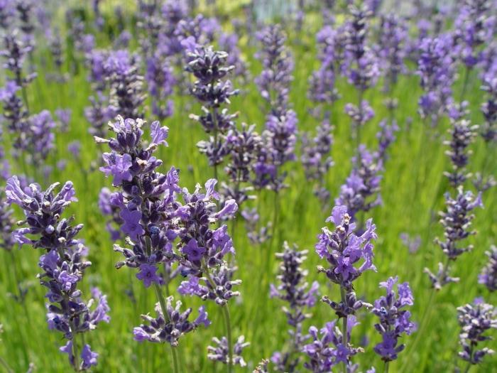 lavendel lavandula angustifolia 39 dwarf blue 39. Black Bedroom Furniture Sets. Home Design Ideas