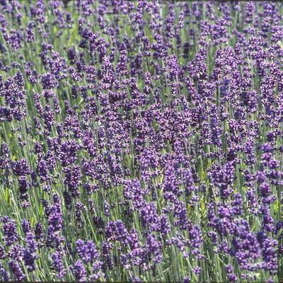 lavendel lavandula angustifolia 39 munstead 39 planten. Black Bedroom Furniture Sets. Home Design Ideas