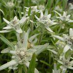Leontopodium alpinum 'Mignon' - Edelweiss - Leontopodium alpinum 'Mignon'
