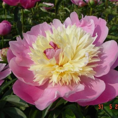 Paeonia lactiflora 'Bowl of Beauty' - Pioen