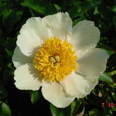 Paeonia 'Claire de Lune' - Pioen - Paeonia 'Claire de Lune'