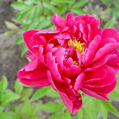 Paeonia `Karl Rosenfield` - Pioen - Paeonia `Karl Rosenfield`
