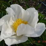 Paeonia lactiflora 'Krinkled White' - Pioen - Paeonia lactiflora 'Krinkled White'