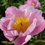 Paeonia lactiflora 'Nymphe' - Pioen - Paeonia lactiflora 'Nymphe'
