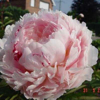 Paeonia lactiflora 'Sarah Bernhardt' - Pioen - Paeonia lactiflora 'Sarah Bernhardt'